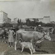 Bestiame a Zaule  24/08/1917